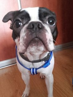 Pixel ,boston terrier
