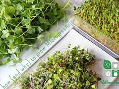 How and why to grow microgreens in your kitchen 365x274 How to Grow Microgreens