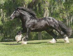 Image result for brabant horse