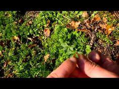Les plantes sauvages comestibles - Survie