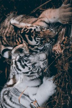 Lovely Small Tigers | By Razeel AL-iraQi
