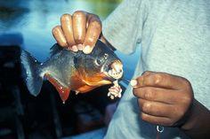 Afbeeldingsresultaat voor braziliaanse piranha eten