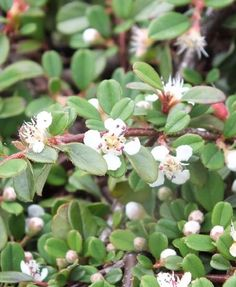 Cotoneaster-procumbens-'Queen-of-Carpets' Carpets, Farmhouse Rugs, Rugs