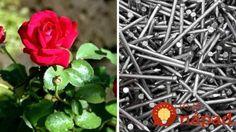 Vďaka tomuto budú vaše záhradné kvety kvitnúť dlhšie a omnoho bohatšie: A nestojí to vôbec nič!