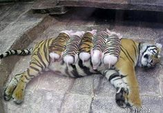 A tiger mother lost her cubs from premature labour. Shortly afterwards, her health declined, and she was diagnosed with depression. So the zookeepers wrapped up piglets in tiger cloth, and gave them to the tiger. The tiger now loves these pigs and treats them like her babies. Pigs in tiger blankets!