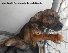 ***SUPER SUPER URGENT!!!*** - PLEASE SAVE MACIE!! - EU DATE: 9/11/2014 -- Macie Breed:Shepherd (mix breed) Age: Under 6 months Gender: Male Size: Small -  Call Silvia and Debbie now,,,,,Silvia is 910-876-0539 and Debbie is 339-832-0806. If Silvia's mailbox is full you can Text her. Transportation is generally available up and down the East Coast from NC, VA, MD, NJ, PA, NY and the North East