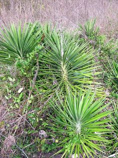 The fibers of the YUCCA leaf are very strong and have been twisted into cordage for thousands of years. It is best to soak the leaves in water for a week or more to rot (aka retting) away the non-fibrous portion of the leaf which would otherwise weaken the cordage.