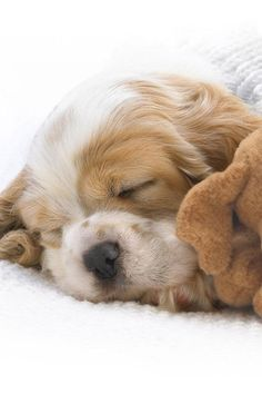Cocker Spaniel puppy napping