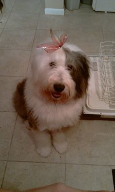 if i ever have kids im getting an old english sheepdog ... assuming i dont live in az