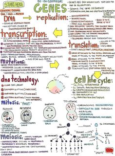 oh-soufflegirl's notes on Genes (it includes Mitosis, Meiosis, and the Cell Life Cycle).
