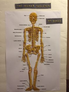 Human Skeleton With Pasta Noodles Mr Bones By Kr For My Students, Macaroni Skeleton Science Projects For Kids, Science Activities For Kids, Science Experiments Kids, Science Classroom, Science Lessons, Skeleton For Kids, Skeleton Craft, Human Skeleton, Skeleton Model