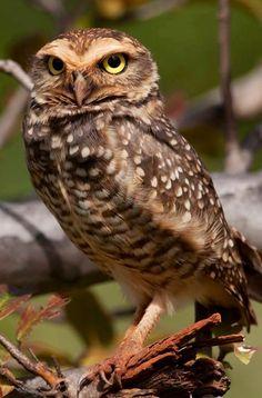 Burrowing owl via Bird's Eye View at www.Facebook.com/aBirdsEyeViewForYou