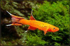 All Fish, Aquarium Ideas, Freshwater Aquarium, Swimmers, Tropical Fish, Fresh Water, Pets, Animals, Animales