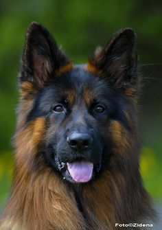 Hvilke raser har din hund blitt tatt for å være? Charles Spaniel, King Charles, Border Collie, Pitbull, Tatt, Labrador, Terrier, Animals, Animales