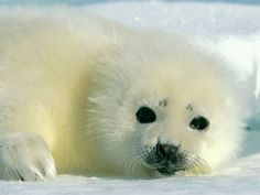 Baby Harp Seal. They are just as cute as adults! The Detroit Zoo has an adult that is blind and was rescued after being stranded on the beach! Visit him if you are in the area!