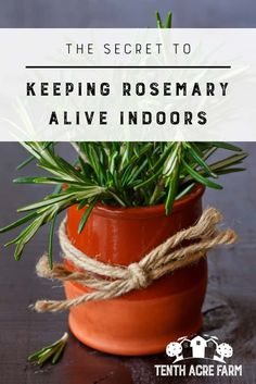 The Secret to Keeping Rosemary Alive Indoors: Growing rosemary indoors is a little tricky. If you experience cold winters, follow these tips to keep your potted rosemary alive inside. #herbs