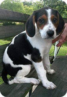 Hagerstown, MD - Treeing Walker Coonhound. Meet Tammy a Puppy for Adoption.
