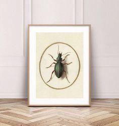 Chętnie udostępniam ten artykuł z mojego sklepu #etsy: Beetle wall art, beetle print, insect wall art, insect print, poster beetle, poster with insect, vintage illustration, antique illustration