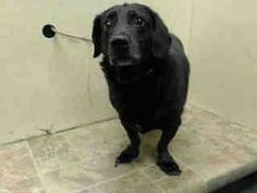 SUPER URGENT 7/30/14  Brooklyn Center    ARMSTRONG - A1008626    MALE, BLACK, LABRADOR RETR MIX, 12 yrs  STRAY - STRAY WAIT, NO HOLD Reason STRAY   Intake condition NONE Intake Date 07/30/2014, From NY 11224, DueOut Date 08/02/2014 https://www.facebook.com/Urgentdeathrowdogs/photos_stream?fref=photo