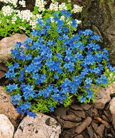 Lithodora Diffusa Heavenly Blue is a compact plant that stays green in summer and winter. It is covered for months with dazzling, intensely deep blue flowers. Blue Garden, Shade Garden, Dream Garden, Lawn And Garden, Garden Shrubs, Garden Plants, Garden Landscaping, Outdoor Plants, Outdoor Gardens
