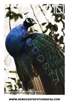 #pavone #peacock #animal #fotografia #photo #animalsphoto #ninocosta #ninocostafotografia #ninocostafotografo #fotograforoma #ninocostaphotographer #nature #photography #naturephotography #romephotographer #tfcd #shoot #pavocristatuslinnaeus