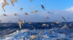 flock of gannets and boobies birds wallpaper download free hd