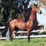 paardenrassen , hannoveraan