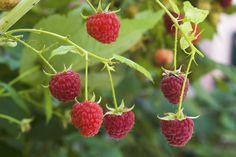 Herbst-Himbeeren pflanzen, schneiden und pflegen