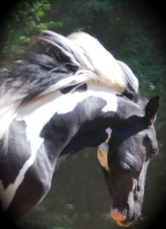 Horse's name: Tucson TM (Pinto Paso Fino Stallion from Trademark Farms located in Darden, Tennessee). Black and white Beauty. All The Pretty Horses, Beautiful Horses, Animals Beautiful, Cute Animals, Horse Pictures, Animal Pictures, Art Chinois, Majestic Horse, Horse Love