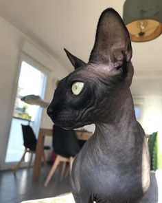 Common Meanings Of Cat Behavior Black Hairless Cat, Hairless Cats For Sale, Cats And Kittens, Beautiful Cats, Animals Beautiful, Cute Animals, Wild Animals, Baby Animals, Sphinx Cat