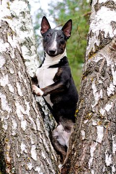 Gorgeous Bull Terrier, the article is right... they do have a sense of humor for sure. - Claire
