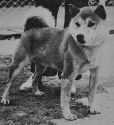 Hakuba No Gen Go Roukakusou Japanese Dog Breeds, Japanese Dogs, Husky, Animals, Animales, Animaux, Animal, Animais, Husky Dog