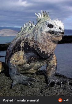 PsBattle: this Marine iguana Rare Animals, Animals And Pets, Funny Animals, Reptiles Et Amphibiens, Mammals, Beautiful Creatures, Animals Beautiful, Animals Crossing, Monsters