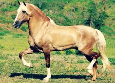 Mangalarga Marchador stallion, Fator da Cavaru-Retã. Developed from Portuguese Lusitanos and eastern Barbs in Brazil, it is a gaited breed with a smooth march step. Defined as a Baroque breed by some, not all, but it's Iberian through and through.