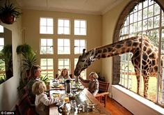 Kenya. Breakfast with some friendly giraffes, Giraffe Manor in Nairobi