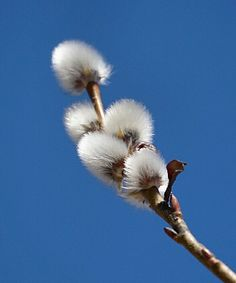 Весна...#верба #природа #nature #растения #plants #beauty #красота #foto_prirody #pfotooftheday #vl #nature_perfection #floralfix #primpogoda  #vdk_insta #gramofnature #ig_vladivostok by qwerty9753131