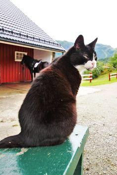 Verdens snilleste gårdskatt - Benny! Bergen, Eid, Cats, Animals, Gatos, Animais, Animales, Animaux, Animal