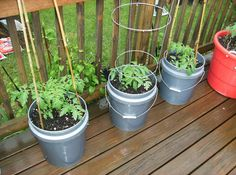 Picture of How to Grow Large Tomatoes in Containers