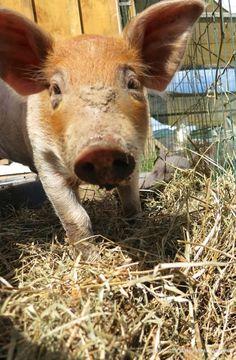 I want a pig!!!!!!!
