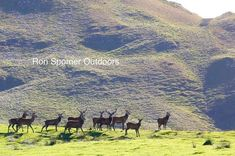 The famous red stags of Scotland standing proud in the Highlands Ardnamurchan. Another week and these boys will be roaring and fighting like frat boys at a cheerleader convention. Scottish Animals, Travel Info, Scottish Highlands, British Isles, Scotland, Places To Go, Hunting, Explore, Mountains