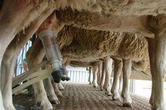East Friesian dairy sheep, being milked.