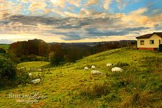 Sheep grazing in rolling hills with orange trees in the background during the sunset.