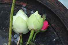 Lotus offerings by nataliedoll79, via Flickr