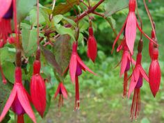 """Fuchsia magellanica (Hummingbird Fuchsia, Hardy Fuchsia) → Plant characteristics and more photos at: http://worldoffloweringplants.com/?p=50  """"From my rotting body, flowers shall grow and I am in them and that is eternity."""" - Edvard Munch"""
