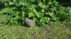 Amrock chicken exploring 2015