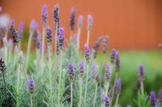 Can you virtually smell the fresh lavender? Aloha Hawaii, Hawaii Travel, Living In La, Hawaiian Islands, Big Island, The Fresh, Dream Vacations, Maui, Flower Power