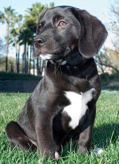 Beagle Labrador Mix