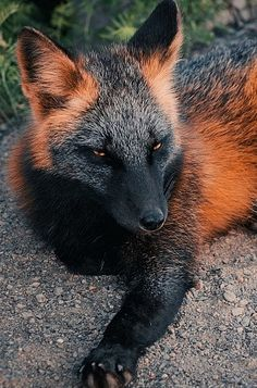 Melanistic Fox: Due to a rare condition called melanism, the commonly red fur of the fox is splattered with black patches.
