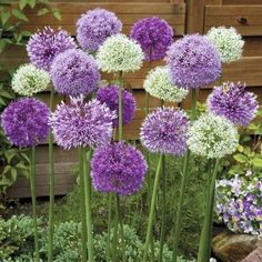 'Fantasia' The post Allium 'Fantasia' gem. 'Fantasia' appeared first on Easy flowers. Allium Flowers, Bulb Flowers, Flowers Perennials, Planting Flowers, Purple Perennials, Bonsai Plants, Garden Plants, Buy Plants, Exotic Flowers