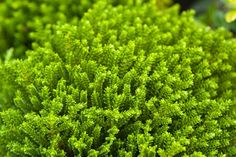 Hebe 'Emerald Green'  Small mound-forming hebes tend to be hardier than larger varieties, and make very attractive neat plants for edging or containers. Emerald Green', previously called 'Green Globe', rarely flowers but makes an excellent container plant as the leaf colour is stunning. It has small, emerald green leaves and a round, ball-shape habit. Trim plants in spring to maintain the shape. It can also be used in rockeries to offset bright alpines or in the front of a garden border.